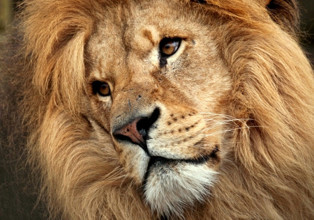 Soulful Expression - face, head, mane, lion