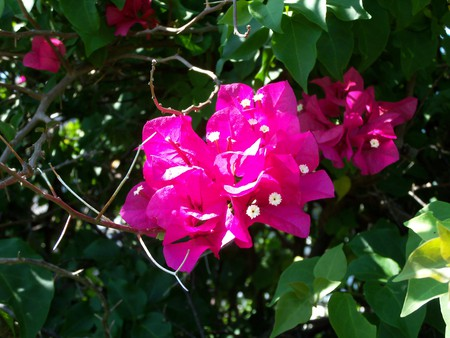 ~Beautiful Bougainvillea Glabra~aka~Paper Flower~ - plant, florida, leaves, hot pink, green, bush, flowers, nature, white, pink