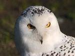 Snow Owl (WDS)