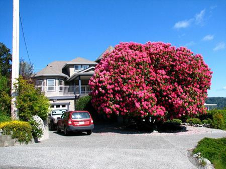 Giant rhododendron - rhododendron, bc, huge, old, canada