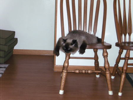 How our cat sleeps on a chair - crazy, silly, tired, cat, sleeping