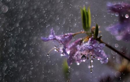 Spring Rainfall - raindrops, purple, purple flowers, rain