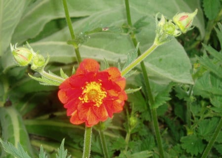 an orange geum. - flower, green leaf, orange