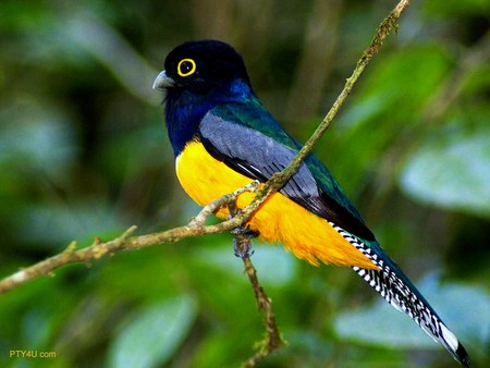 Bright bird of South America - blue, navy, black, bird, south america, yellow