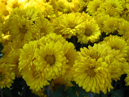 Yellow flowers flowers nature background wallpapers on desktop yellow flowers south india greenery india ooty flower nature mightylinksfo