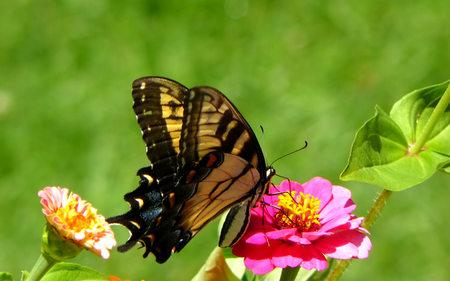 Butterfly (WDS) - butterflies, butterfly, widescreen, wds