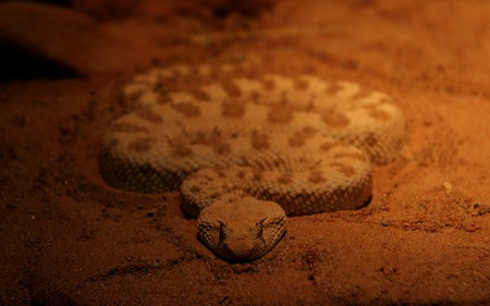 Evil  Snake - rattlers, animals, snakes, evil, reptiles, mean, venomous snakes, poisonous snakes