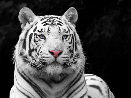 Pretty Tiger - cats, abstract, photoshop, tigers, tiger, animals, big cats, art, photo manipulation