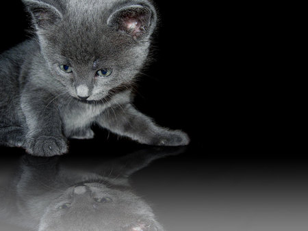Who Are U?  (Kitten) - cats, kitten, photos, kittens, kitty, animals, cat, reflection