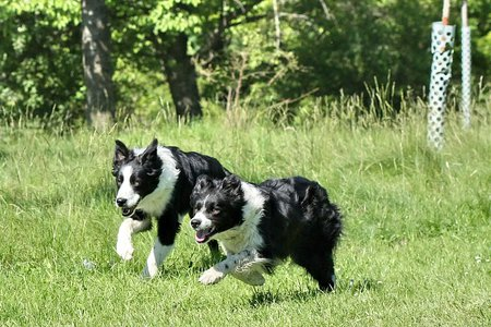 Running Collies - border, green, grass, collie, running, dog