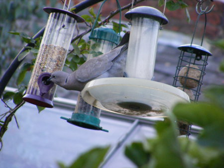 So thats how he does it! - seeds, feeders, swinging, doves