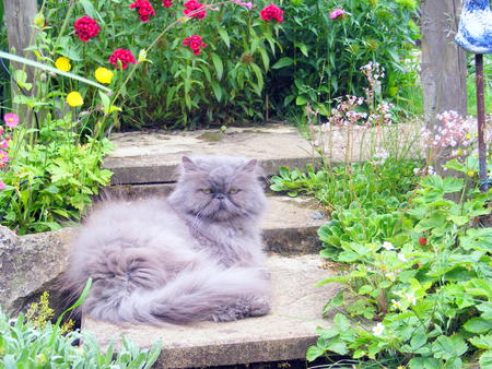 Blossom in our flower garden!! - blossom, london pride, poppies, steps stone, flowers, cat