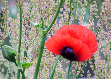 Red Poppy, with Sorrel in the background. - red, poppy, sorrel, garden, herb