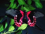 Black and red flying jewel