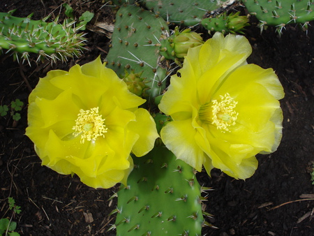 Cacti in bloom - flowers, nature, bloom, cacti