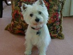 I'm a Westie..Are you?
