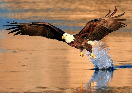 eagle w fish birds \u0026 animals background wallpapers on desktopeagle w fish