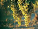 Chardoney grapes