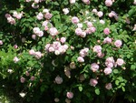 Old Fashioned Rose Bush