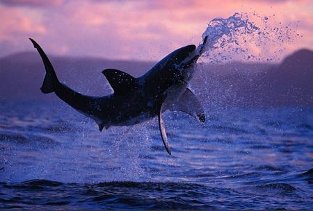 Great White Shark Breaching - great white, shark, oceans, white, animals, great white shark, breaching, fish