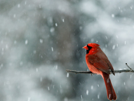Cardinal in Snow - red cardinal, cardinal, snow, snowing, north carolina, red