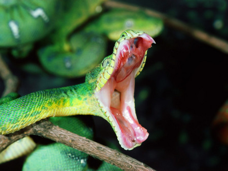 Green Snake Dangerous - animals, snake, dangerous, green, reptiles