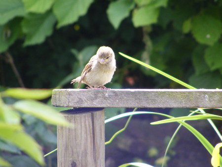Baby sparrow. - fence, hedge, sparrow, baby