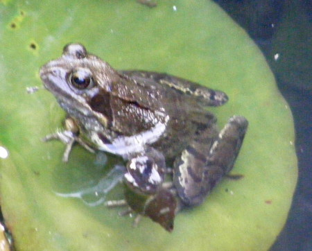 Frog on a lilly pad. - frog, lillypad, brown, green