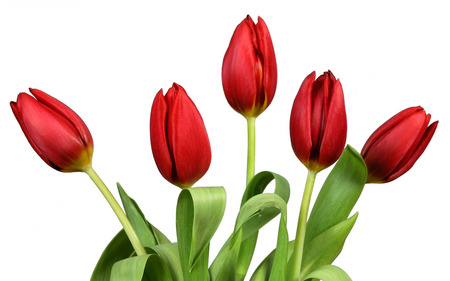 Colour Of Love - red, five, flowers, beautiful, tulips