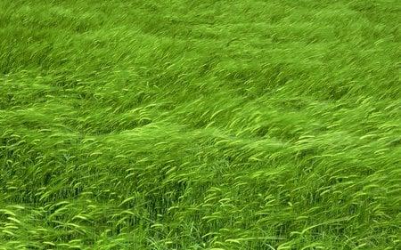 Grass - beautiful, grass, nice, wind, green, nature