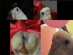 my parakeet mingming