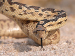 slithering snake in the desert
