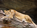 lions laying down