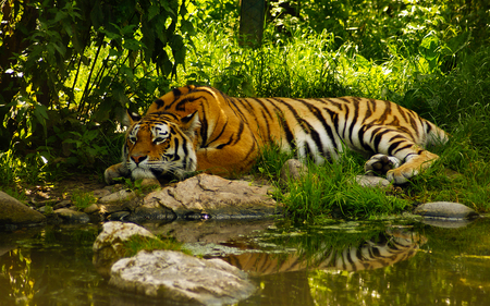 Beauty - tiger, animal, stream, nature