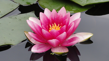Water Lily - lotus, beutifull, beautiful, flowers, pink, collours, water