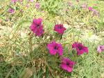 Mauve pinkish flowers