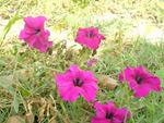 Margenta flowers