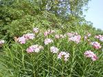 Pinkish white flowers