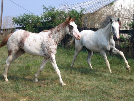 a paint running with a grey horse - stallions, free, galloping, two, geldings, mares, fencing, horses