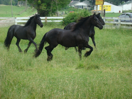 a herd of freason horse - blackred, two, three, one, gelding, black, horses