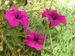 Pinkish purple flowers