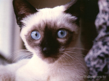 my name is miss KATE - beautiful, eyes, siamese, blue