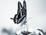 wings in black and white