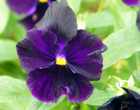 A black pansy, - leaves, purple, green, black, yellow, pansy