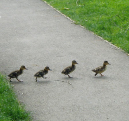 Single File! - crossing, grass, path, ducklings, greener