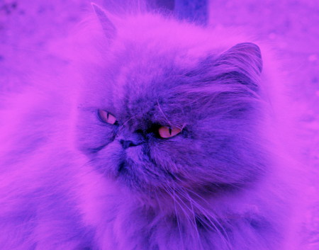 Blossom, the two-tone cat! - photo, cat, eyes, pink, blue