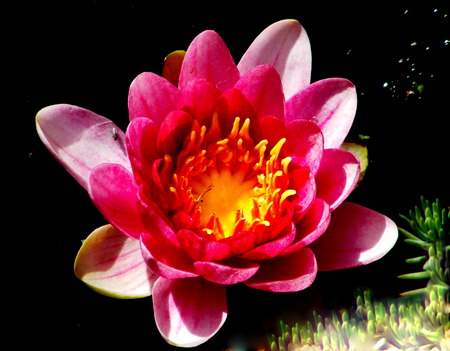 Waterlilly. - pond, lilly, water, pink