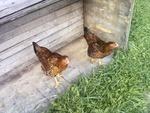 Twin Hens