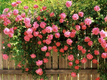 Pink Roses - climbing roses, peaceful pickets, rose, beta, roses, l hate flowers, romantic roses