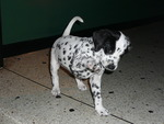 Jade - Dalmation Puppy